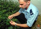Marihuana by�a hodowana w profesjonalny spos�b