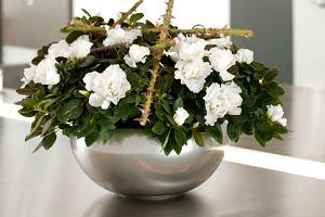 Kwiaty doniczkowe kwitnące zimą
