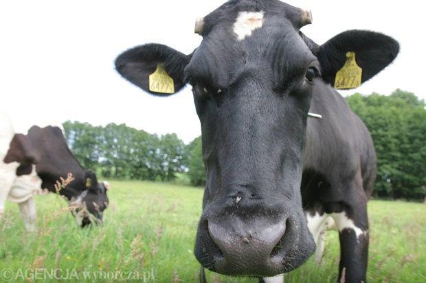 Krowa to te� cz�owiek [SCENARIUSZE LEKCJI]