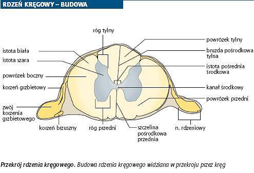 Przekrój rdzenia kręgowego. Budowa rdzenia kręgowego widziana w przekroju przez kręg