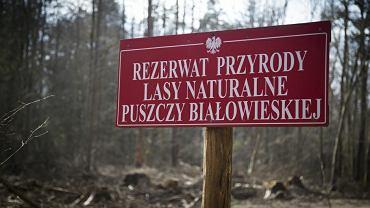 Wycinka drzewa zaatakowanych przez kornika drukarza w Puszczy Białowieskiej ma być ostatecznie wstrzymana