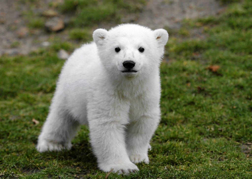 Nieźwiadek Knut
