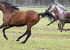 Polskiej potęgi hodowli koni arabskich by nie było, gdyby nie kilku ludzi, którzy kochali te zwierzęta
