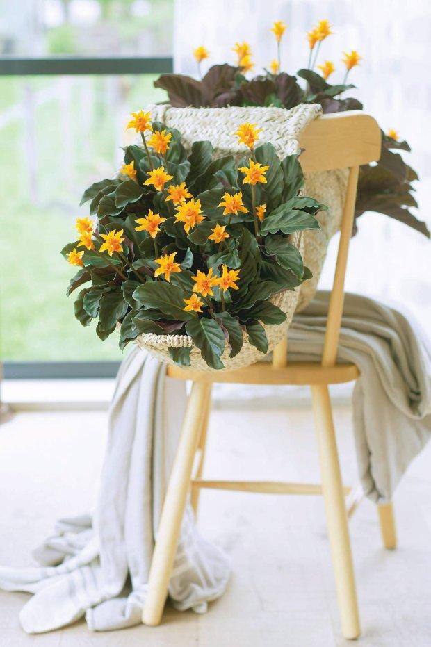 Kalatea żółtokwiatowa. Wilgoć wyjątkowo jej sprzyja - w suchych pomieszczeniach roślina natychmiast marnieje.