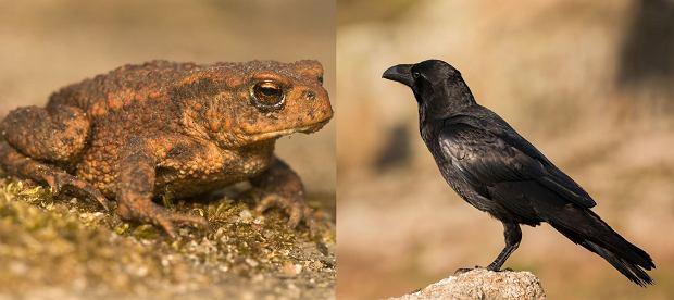 Te wrony wiedzą, jak bezpiecznie zjeść żabę