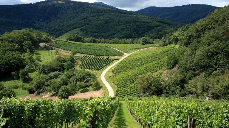 ROUTE DES VINES. Trasa prowadzi między winnicami Alzacji. To doskonały kierunek dla smakoszy lokalnego białego wina i tradycyjnych przysmaków francuskiej kuchni.