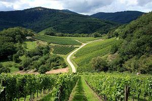 Ogromne straty francuskich winiarzy. Minister rolnictwa mówi o najgorszym roku w historii