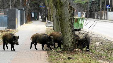 Radość, ul. Mozaikowa. Dziki w mieście.
