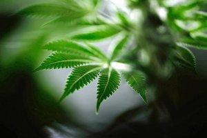 Aktywny składnik marihuany może pomóc w leczeniu choroby Alzheimera