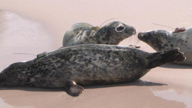 Trzy młode foki trafiły do Bałtyku [WIDEO]