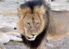 Dentysta z USA zabił lwa Cecila, symbol Zimbabwe. Za polowanie zapłacił ponad 50 tys. dolarów. Teraz tłumaczy