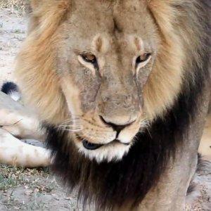 Najs�ynniejszy lew Afryki nie �yje. Dentysta z USA zabi� Cecila na polowaniu