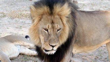 Brat lwa Cecila zastrzelony przez k�usownik�w? Naukowcy: ''Z tego, co wiemy, czuje si� dobrze''