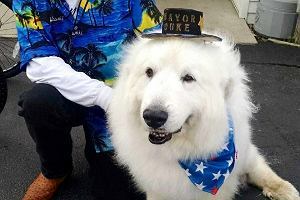 Wreszcie polityk, kt�remu mo�na zaufa�! Ten pies zosta� wybrany na burmistrza... po raz trzeci
