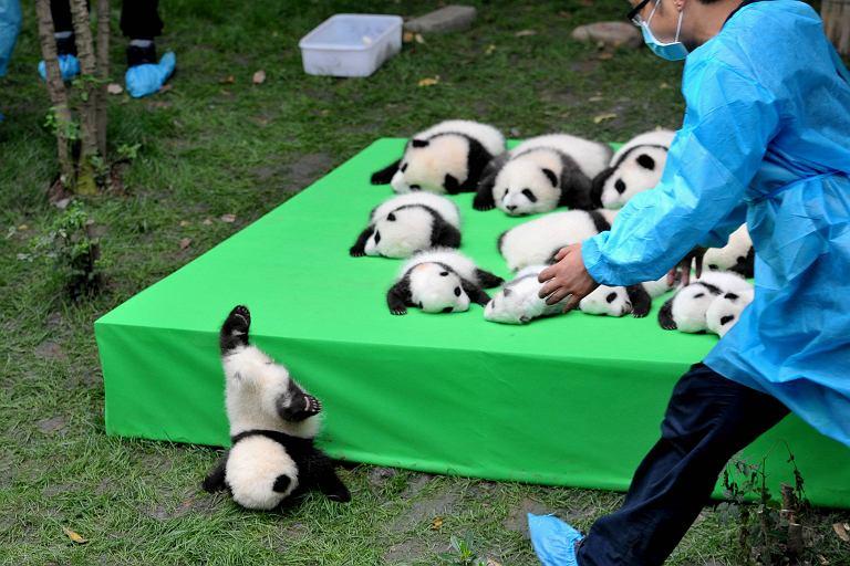23 młode pandy urodzone w tym roku w centrum badawczym w prowincji Syczuan w Chinach