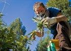 Marihuanowe �niwa w Kalifornii. Jak zarobi� 500 dolar�w dziennie?