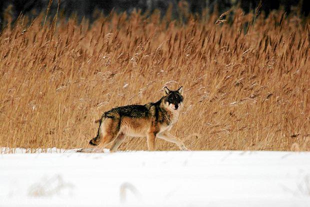 Wilk w Puszczy Bia�owieskiej