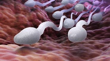 Badania wskazują na to, że u wielu mężczyzn stężenie plemników w spermie jest niepokojąco niskie