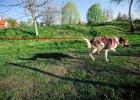 Niezwykła historia psa Foresta. Jedni ludzie zabrali mu dwie łapy. Inni zrzucili się na protezy