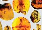 Najstarszy kameleon �wiata uwi�ziony w bursztynie