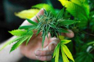"""""""Zielony wtorek"""" w stanie Waszyngton: ruszy�a legalna sprzeda� marihuany"""