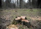 Puszcza Bia�owieska. Le�nicy chc� wycina� �wierki, ekolodzy: to koniec