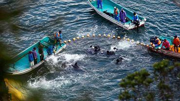 Delfiny otoczone przez rybaków u wybrzeży wyspy Taiji