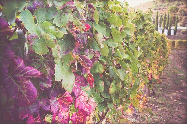 Winnica w dolinie rzeki Douro