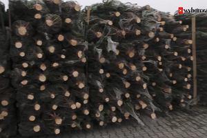Choinki już są! Która postoi najdłużej? Sprawdzamy ceny i gatunki drzewek