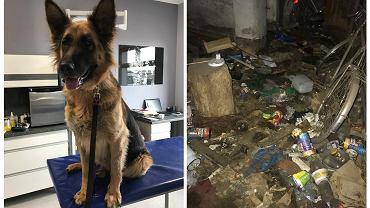 Suczka owczarka niemieckiego odebrana w Czeladzi Wielkiej żyła w strasznych warunkach