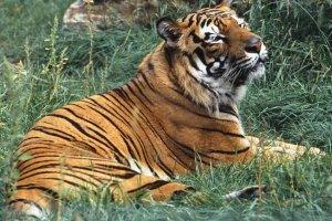 Po raz pierwszy od 100 lat wzros�a �wiatowa populacja dzikich tygrys�w