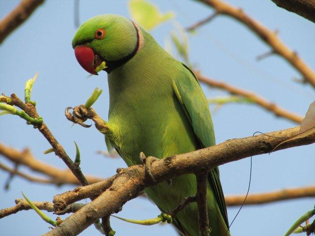 Nowy polski ptak du a zielona papuga inwazja jest tylko kwesti