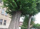"""Jedno drzewo blokuje inwestycj� w Gda�sku. """"To rzadki i pi�kny okaz"""""""
