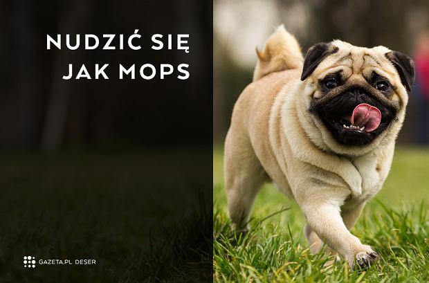 Skąd się wzięło tych 20 polskich powiedzeń? - Nudzić się jak mops