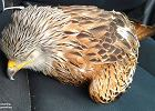 Wziął z ulicy rannego ptaka. Kiedy zwierzę odzyskało przytomność, szybko pożałował swojej decyzji