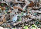 Dzielna mysz z paskiem