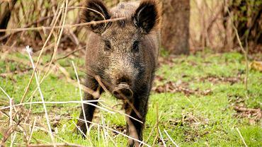 Minister Rolnictwa rezygnuje z budowy płotu. Chce zapobiegać pomorowi świń w inny sposób