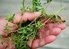 Tymianek - małe zielone listki z wielką mocą