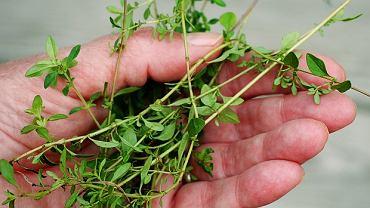 Tymianek - roślina i pachnąca, i lecznicza