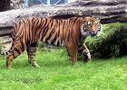 Tygrys w zoo Wrocław