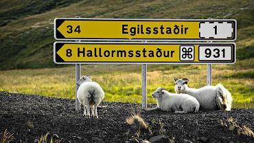 Na zdjęciu: owce odpoczywają pod islandzkim kierunkowskazem. Islandia to kraj dla koneserów: najczystszego powietrza i rzek w Europie, wielkich pustkowi, księżycowych krajobrazów, surowej przyrody. W Islandii można zobaczyć zorzę polarną i gejzery, wygrzać się w gorących źródłach i zmarznąć podczas trekkingu przez góry i lodowce. Wyspa 'na chmurnej Północy' wcale nie jest szara, wręcz przeciwnie - oferuje całą gamę kolorów, które tylko natura potrafi stworzyć. Islandia, wbrew powszechnym opiniom, sprzyja turystom z plecakami i śpiworami, choć równie dobrze zaspokoi potrzeby osób, które stać na luksus w podróży.