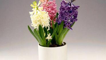 Hiacynt (Hyacinthus)