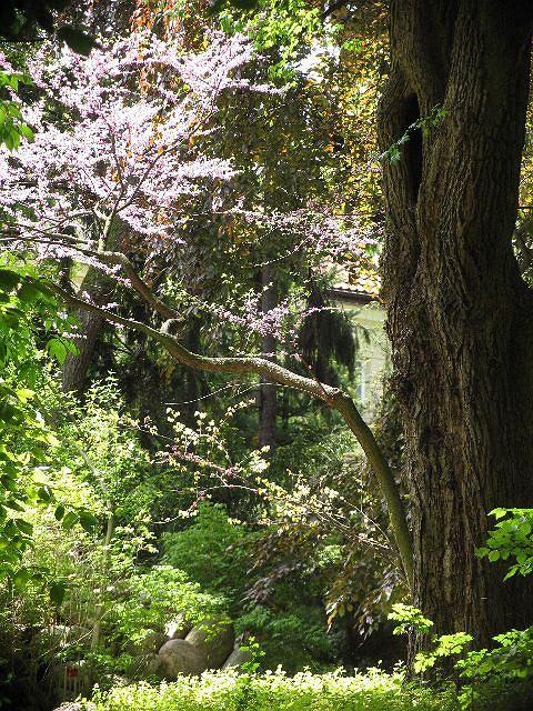 Kwitnący judaszowiec południowy (Cercis siliquastrum) - jego kwiaty pojawiają się bezpośrednio na pniu i konarach