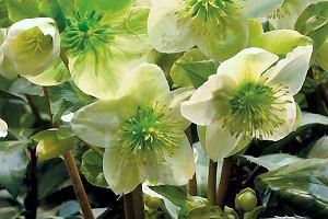 Ciemierniki - zimowe kwiaty. Wiosna zimą się zaczyna