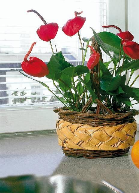 Kwiat anturium (Anthurium). Pielęgnacja i podlewanie