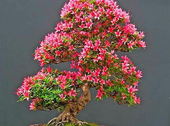 Drzewko bonsai uformowane z azalii najpiękniej wygląda w okresie kwitnienia