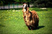 Alpaka w śląskim zoo