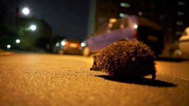 Jeż na ulicy