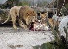 Pracownik cyrku ugryziony przez lwa. Straci� r�k�. Jest w gorzowskim szpitalu