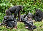 Człowiekowi bliżej do bonobo niż szympansa zwyczajnego